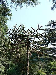 Воронцовский парк, араукария