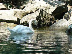 Воронцовский парк, Лебединое озеро